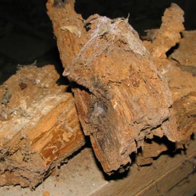 Csak a födémvizsgálat során válik láthatóvá, milyen súlyosan károsodott egy-egy gombafertőzött födémgerenda