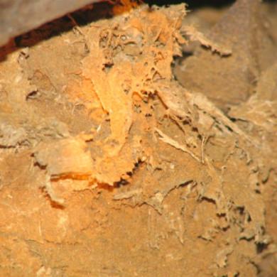 A födémgerenda a könnyező házigomba fertőzés következtében teljesen fölmorzsolódott