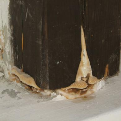 Könnyező házigomba fertőzött tartóoszlop