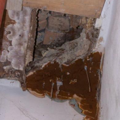 A könnyező házigomba fonalai nem csak a fát, de a falat is átszőtték