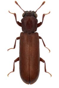 Szíjácsbobár (Lyctus brunneus)